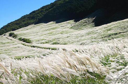 仙石原的芒野原