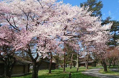 Cherry blossoms are in full bloom in cottage area!