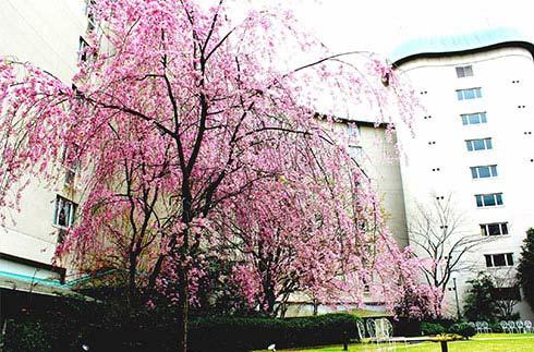京都格蘭王子大飯店周邊的櫻花景點