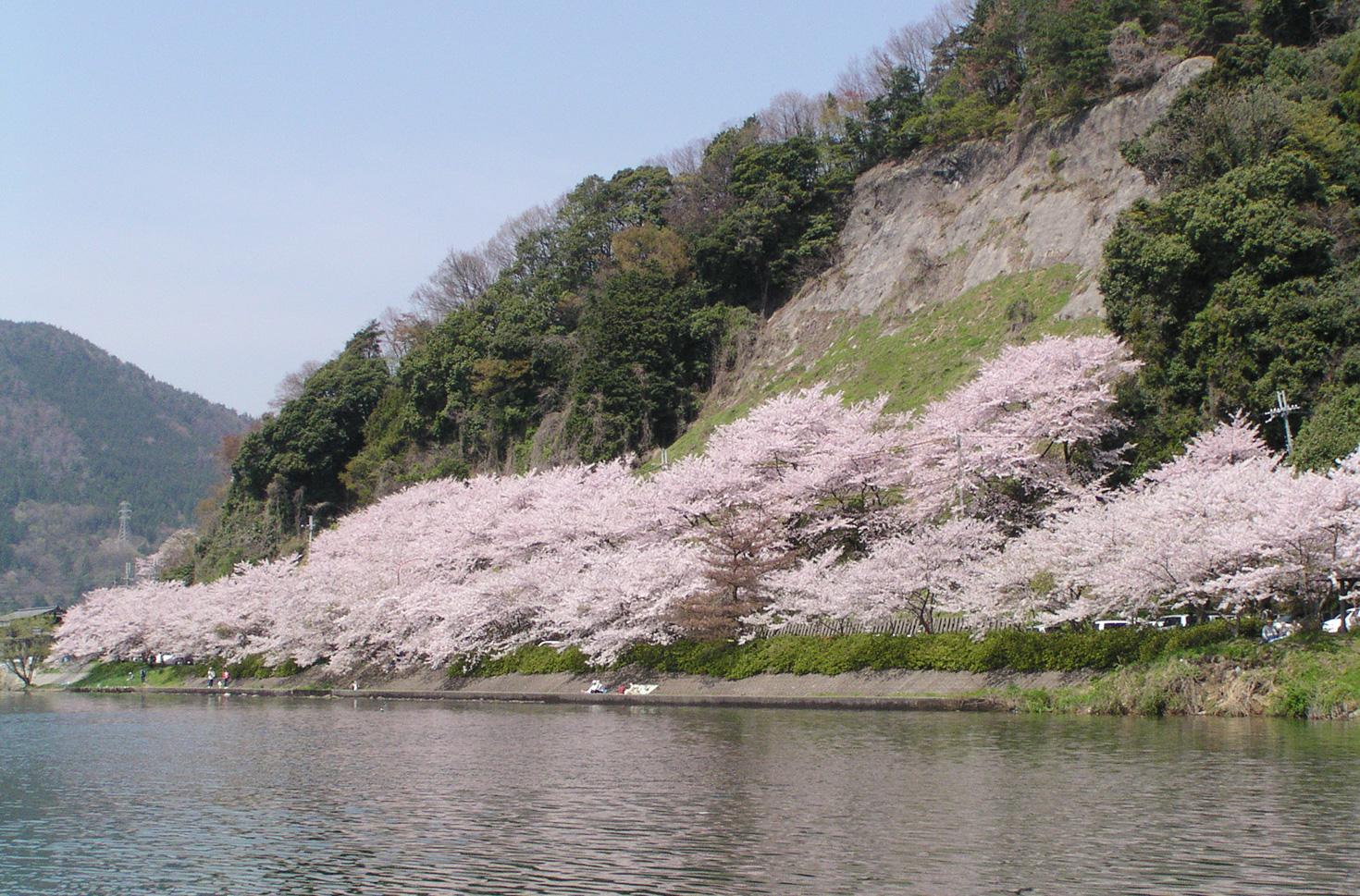 가이츠오사키의 벚꽃 (봄)