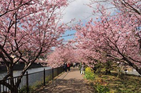 카와즈 벚꽃 축제 (2월)