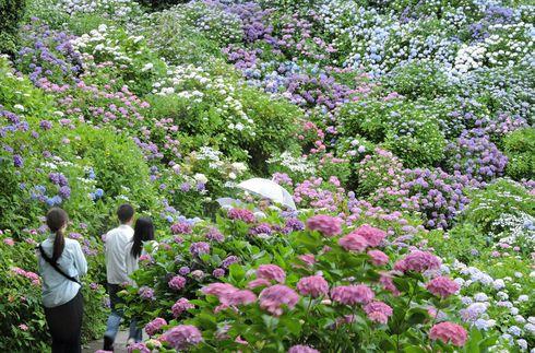 시모다 공원 수국 축제 (6월1일 ~ 30일)