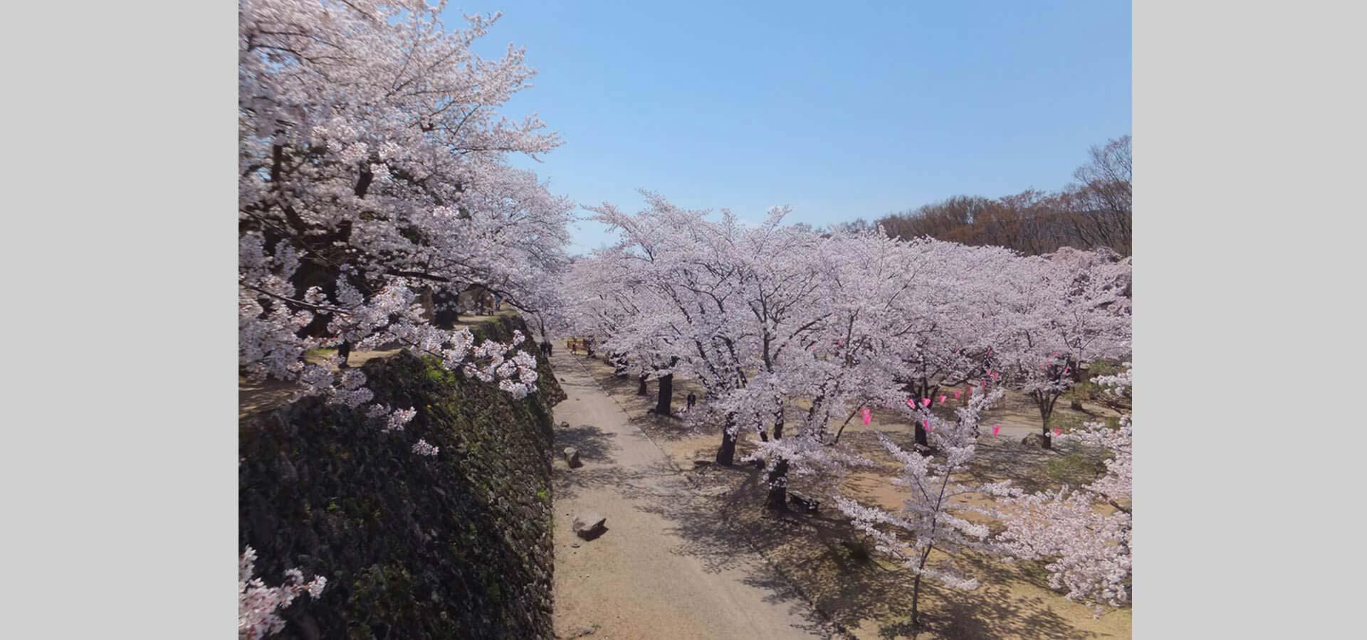 周边景点:小诸城址怀古园 樱花祭 从4月9日至4月30日