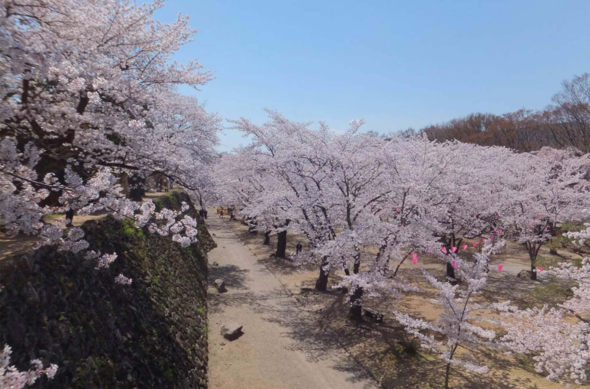 周邊景點:小諸城址懷古園 櫻花祭 從4月9日至4月30日
