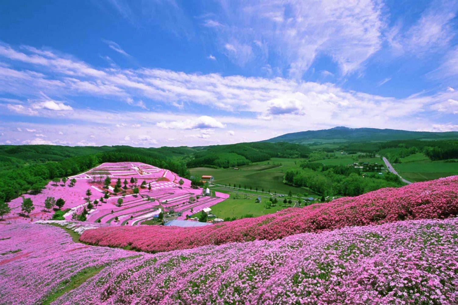 shibazakura-spring