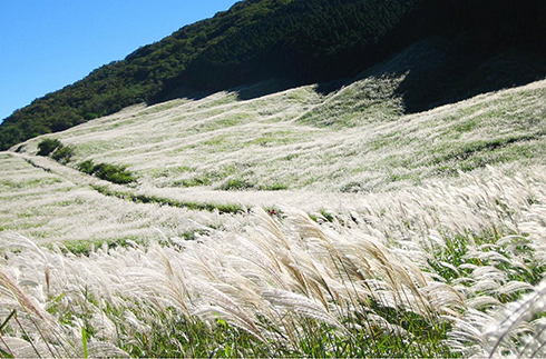 Japanese Pampas Grass Field in Sengokuhara